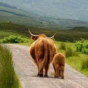 Фото К чему снятся мертвые коровы много