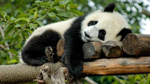 черно белая панда