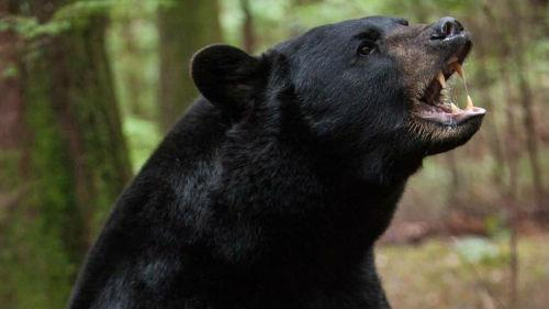 черный медведь во сне