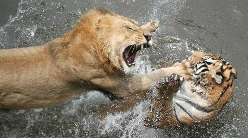 лев и тигр во сне