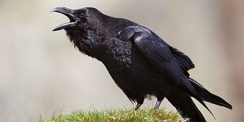 птица нападает