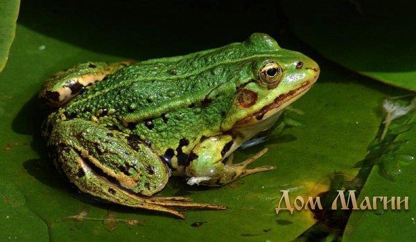 К чему снится прыгающая жаба фото