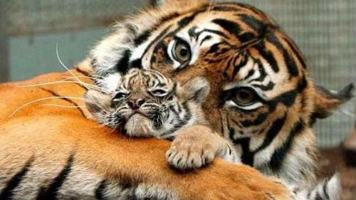 к чему снятся тигры женщине