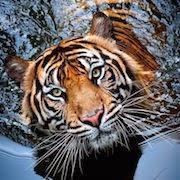 К чему снится злой тигр фото