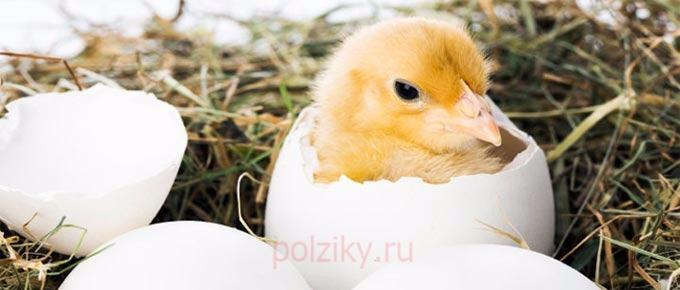К чему снится цыпленок , который вылупится из яйца