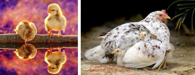Видеть во сне курицу с цыплятами