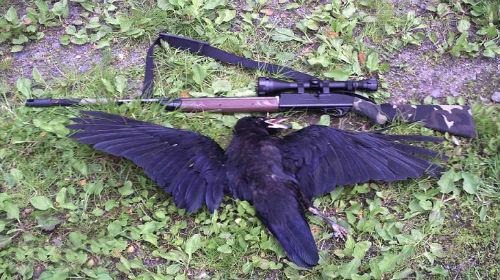 убитая ворона