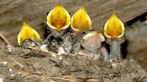 птенцы в гнезде во сне