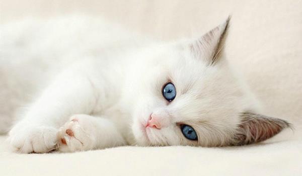 приснился белый котенок