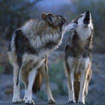 Во сне приснились волки: что это значит?
