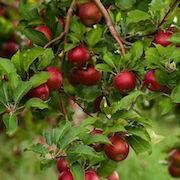 К чему снятся цветы яблони фото