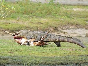 Крокодил потрошит свою жертву