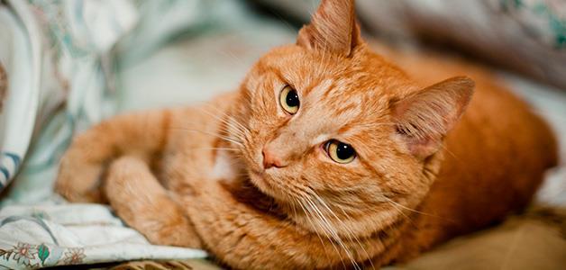 К чему снится нападающий рыжий кот фото
