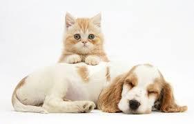 рыжий котенок и собака милые фотография