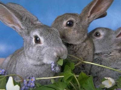 К чему снились кролики
