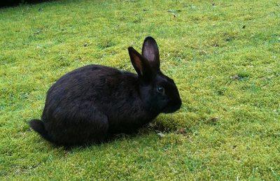К чему снится кролик черный