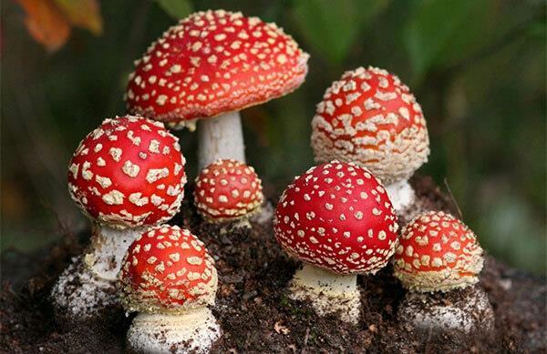 Приснились ядовитые грибы