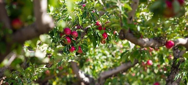 к чему снится яблоня
