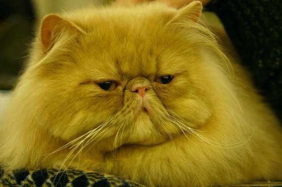 К чему снится желтый кот фото