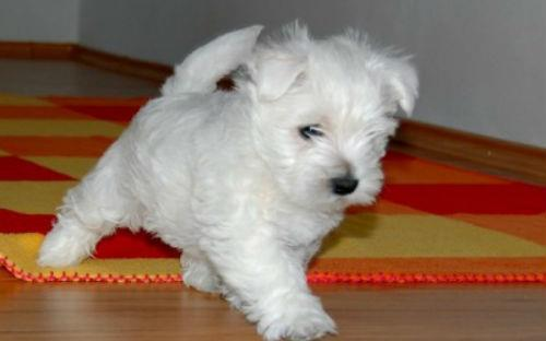 Сонник - белая собака