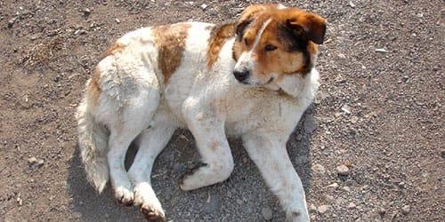 сонник раненая собака