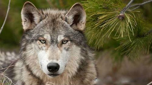 облава на волков