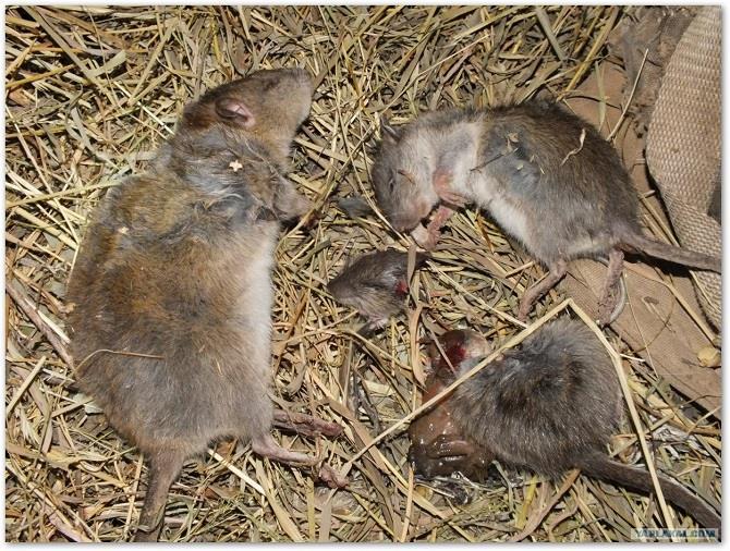 Убитая во сне мышь – победа над недоброжелателями