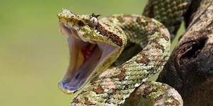 Змея пытается укусить