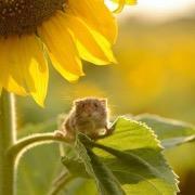 Мышь на цветке