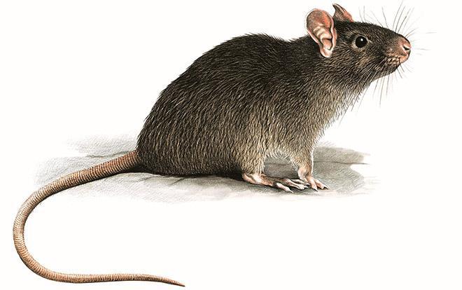 Убивать крыс во сне