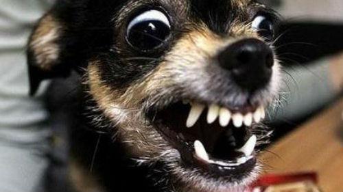 злая собака кусает