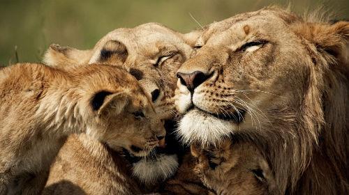 приснилась семья львов