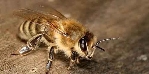 К чему снится пчела в ухе фото