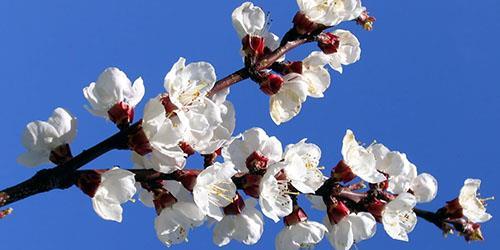 к чему снятся цветущие ветки деревьев