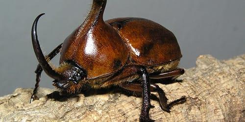 Фото Сонник жуки коричневые