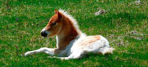 сонник пони