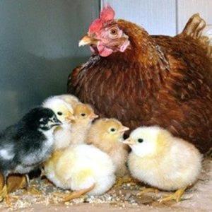 Цыплята во сне