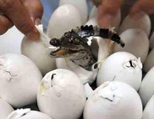 Крокодильи яйца