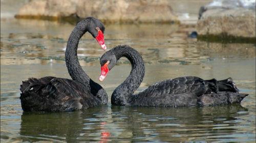 черные лебеди во сне