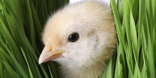 к чему снится цыпленок