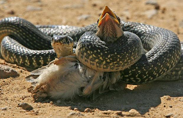 Фото К чему снится душить змею