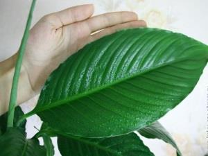 Лист спатифиллума