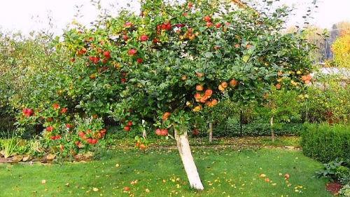 К чему снится саженец яблони фото