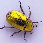 К чему снится ловить жука фото
