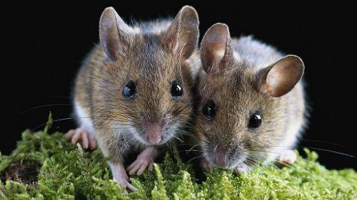мышата маленькие серые
