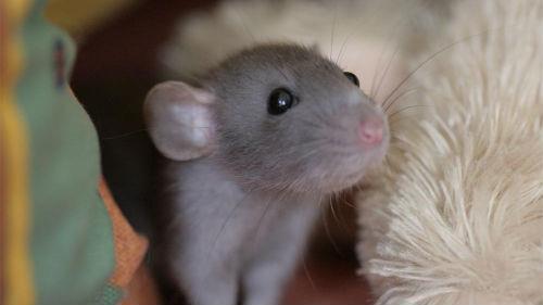 к чему снится мышонок женщине
