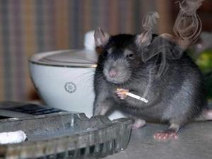 Крыса раздражает