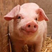 К чему снится много свиней?