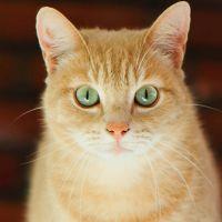 к чему снится рыжая кошка