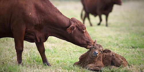 корова отелилась